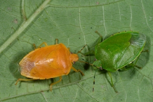 Figure 1. A color variant of the green stink bug. (Photo: Ric Bessin)
