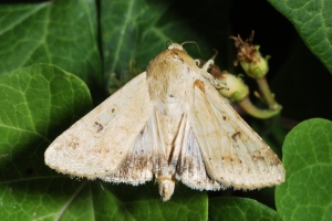 Figure 3. Fruitworm moths may be commonly found visiting flowers. (Photo: Ric Bessin, UK)
