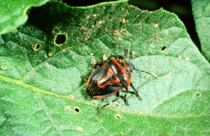 Figure 5. The two-spotted stink bug is common where you might find Colorado potato beetle or its larvae. (Photo: Ric Bessin, UK)