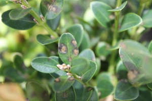 Figure 3 – Early symptoms of boxwood blight include leaf spots, but because leaf drop occurs soon afterward, this phase often goes unnoticed. (Photo: Nicole Ward Gauthier, UK)