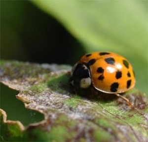 Figure 1. Multicolored Asian lady beetle (Photo: Lee Townsend, UK)