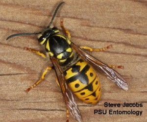 Figure 1. Distinctive black markings on the abdomen are among the characteristics used to identify yellow jackets. This is the German yellowjacket. (Photo S. Jacobs. Pennsylvania State Univ.)