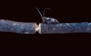 Figure 1. Twig girdler and handiwork (Photo: James Solomon, USDA Forest Service, Bugwood.org)