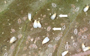 Figure 2. Greenhouse whitefly and nymphs (notice the long filaments).(Photo: Ric Bessin, UK)