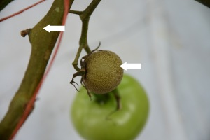 Figure 7. Fruit russetting and bronzing of the stem are common with tomato russet mite. (Photo: Ric Bessin, UK)