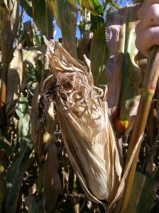 Figure 3. Corn ear showing bird damage. (Photo: Paul Vincelli, UK)