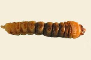 Figure 1. Roundheaded borer larva from firewood. (Photo: Lee Townsend, UK)