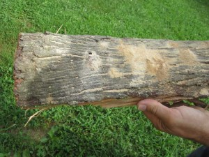 Figure 2. Sawdust from borer activity in infested firewood. (Photo: Lee Townsend, UK)