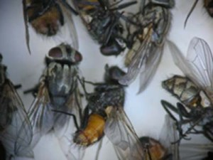 Figure 1.  Face flies – one of the cluster fly group (Photo: Lee Townsend, UK)