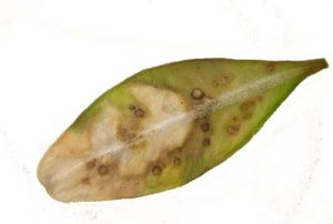 Figure 1. Oval light spots mark the inner cavity created by the boxwood leaf miner. (Photo: Lee Townsend, UK)