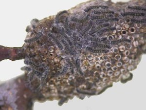 Figure 2.  Newly hatched eastern tent caterpillar larvae on an egg mass (Photo by Lee Townsend, UK)