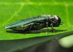 Figure 1. Emerald ash borer. (Photo: Lee Townsend, UK)