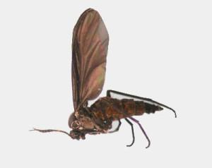 Figure 1. Darkwinged fungus gnat. (Photo: Lee Townsend, UK)