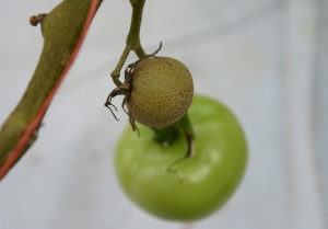 Figure 4. A fruit damaged by tomato russet mite and characteristic stem bronzing. (Photo: Ric Bessin, UK)