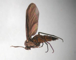 Figure 2. Fungus gnat (Photo: Lee Townsend, UK)