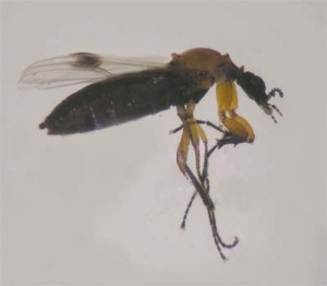 Figure 3. March fly (Photo: Lee Townsend, UK)