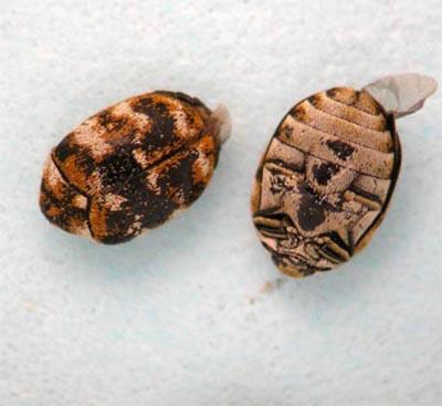 Varied Carpet Beetles Are Almost Everywhere Kentucky