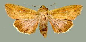 Figure 2. Armyworm moth. (Photo: Doug Johnson, UK)
