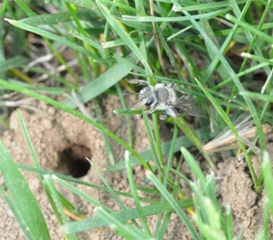 Figure 1. Ground nesting bee resting over tunnel entrance. (Photo: Lee Townsend, UK)
