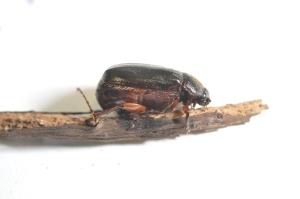 Figure 1. May beetle. (Photo: Lee Townsend, UK)