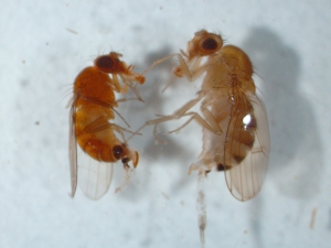 Figure 3. An SWD female with amber colored body and enlarged ovipositor (left) compared to another drosophila species (right). (Photo: Ric Bessin, UK)