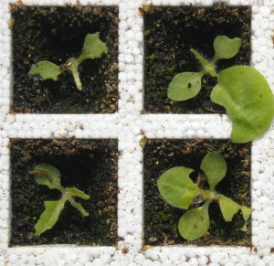 Figure 1. Typical variegated cutworm injury to tobacco seedlings. (Photo: Lee Townsend)