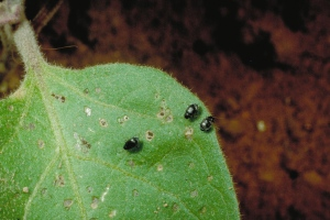 Figure 1. Potato flea beetle feeding wounds to eggplant are characteristically round. (Photo: Ric Bessin, UK)