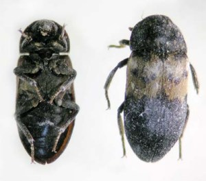 Figure 2. Larder beetle adult (top and bottom views). (Photo: Lee Townsend, UK)