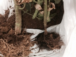 Figure 2: Tomato plants with characteristic Pythium symptoms at the soil line. (Photo: Emily Pfeufer, UK 2015)