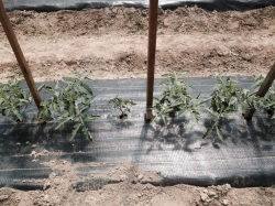 Figure 3: Stunted tomato plant infected with Pythium, in row of otherwise healthy plants (Photo:  Emily Pfeufer, UK 2015)