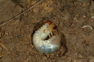 Figure 2. There are several damaging species of white grubs. Common white grub species can be identified by the raster pattern on the end of the abdomen. (Photo: Ric Bessin, UK)