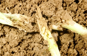 Figure 3. The seedcorn maggot is yellowish white, about 1/4 inch when mature, and has a pointed head and blunt tail. (Photo: Ric Bessin, UK)