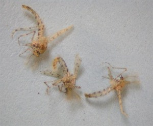 Figure 1. Non-biting gnats. (Photo: Lee Townsend, UK)