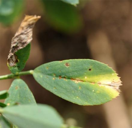 Figure 1. Wedge-shaped foliar symptom of potato leafhopper attack. (Photo: Lee Townsend, UK)