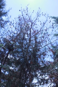 Figure 2. Trees heavily infested with bagworms.  Timely treatment with good coverage can prevent scenes like this. (Photo: Lee Townsend, UK)