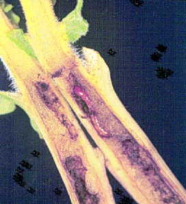 Figure 3. Wireworm larva tunneling within tobacco stem (Photo: Lee Townsend)