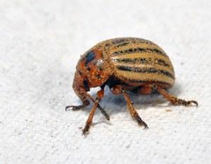 Figure 3. Colorado potato beetle. (Lee Townsend, UK)