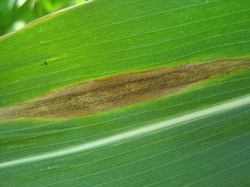 Figure 1. Close-up of Northern leaf blight lesion on a susceptible corn variety.  (Photo: Alison Robertson, Iowa State University, Integrated Crop Management News)