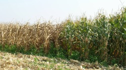 Figure 3. Differences in corn hybrid susceptibility to Northern leaf blight.  Clearly severe damage occurred in the susceptible hybrid on the left. (Paul Vincelli, UK)