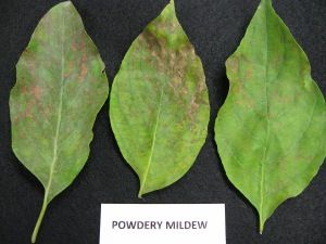 Figure 1.  White fungal growth (left) as well as scorching may be apparent on dogwood leaves with powdery mildew.  (Photo: Julie Beale, UK)