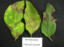 Figure 2.  Symptoms of anthracnose and powdery mildew together. (Photo: Julie Beale, UK)
