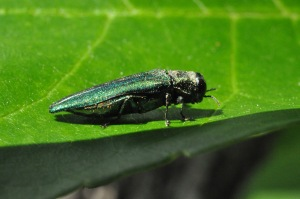 Figure 1.  Emerald ash borer adult (Photo: Lee Townsend, UK)