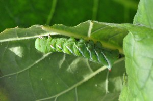 Figure 1. Tobacco hornworm. (Lee Townsend, UK)