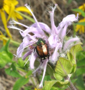 Figure 1. Japanese beetle (Photo: Lee Townsend, UK)