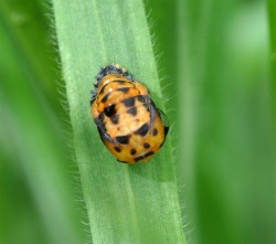 Figure 1. Lady beetle pupa attached to a leaf. (Photo: Lee Townsend, UK)