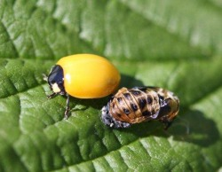 Figure 2. Newly emerged lady beetle next to empty pupa. (Photo: Lee Townsend, UK)