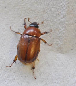 Figure 1. Masked chafer; note the black head and eyes. (Photo: Lee Townsend, UK)