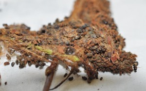 Figure 1. Frass-filled nest of the ugly nest caterpillar. (Photo: Lee Townsend, UK)