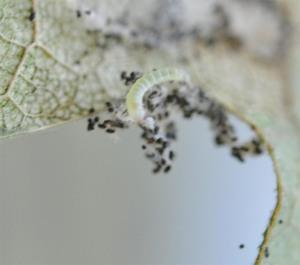 Figure 2. Oak leaf skeletonizer caterpillar with black frass pellets (Photo: Lee Townsend, UK)