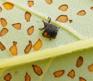 Figure 1. Yellow poplar weevil with distinctive feeding scars on leaf. (Photo: Lee Townsend, UK)